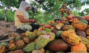 Daerah Kotamobagu  potensi daerah Buah Kakao Agrowisata