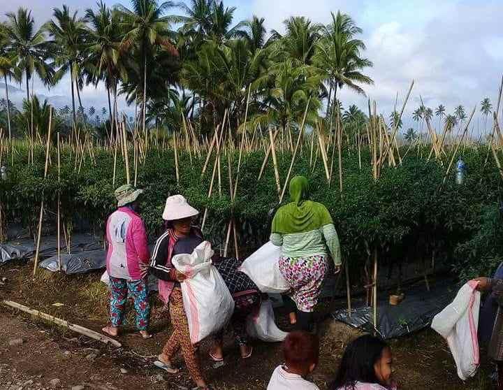 Cabe Keriting Bisa Sejahterakan Petani di Desa Moyag Berita Kotamobagu