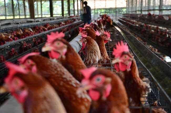 Ternak Ayam Petelur di Poyowa Besar Bersatu Sangat Menjanjikan Berita Kotamobagu
