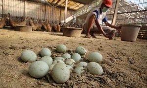 Peluang Usaha Ternak Bebek Petelur di Kotamobagu Menguntungkan Berita Kotamobagu