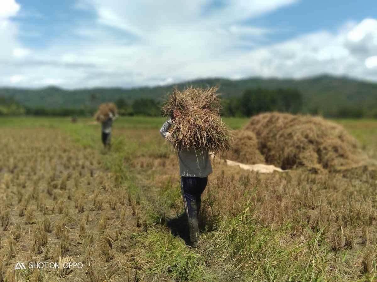 Puluhan Hektar Sawah di Tutuyan Diserang Penggerek Batang dan Penyakit Mentek, Panen Terancam Gagal Berita Boltim